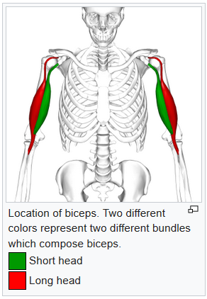 Biceps Tendon Rupture Physiotherapy